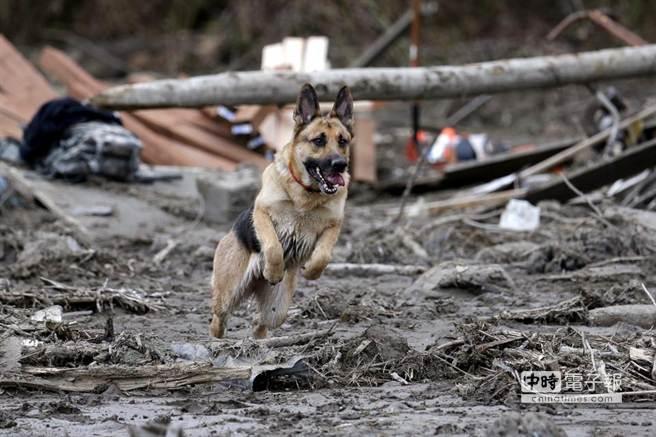 美華盛頓州泥石流救援現場環境惡劣,必須倚賴搜救犬。(取材自華爾街日報)