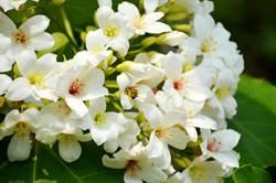 竹苗桂竹筍產季開始 遊客嚐鮮也可賞桐花