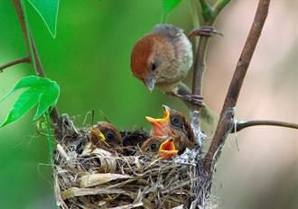 進入繁殖季 鳥會籲勿撿幼鳥