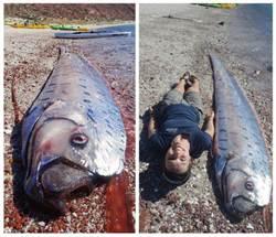 5公尺長皇帶魚 屍陳墨西哥海灘