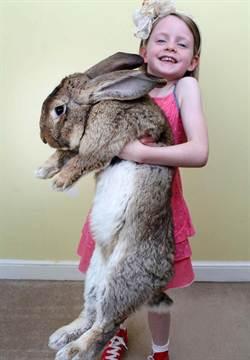 世界最大兔子體長逾1公尺