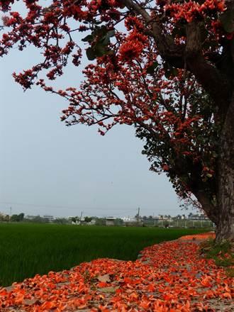 彰美路膠蟲樹花盛開 處處美景