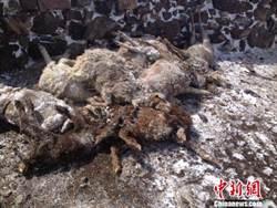 新疆大風致農作物受損 牲畜被凍死