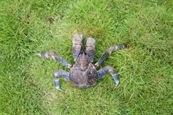 惡劣行徑 綠島椰子蟹疑遭遊客惡作劇放大石頭壓死
