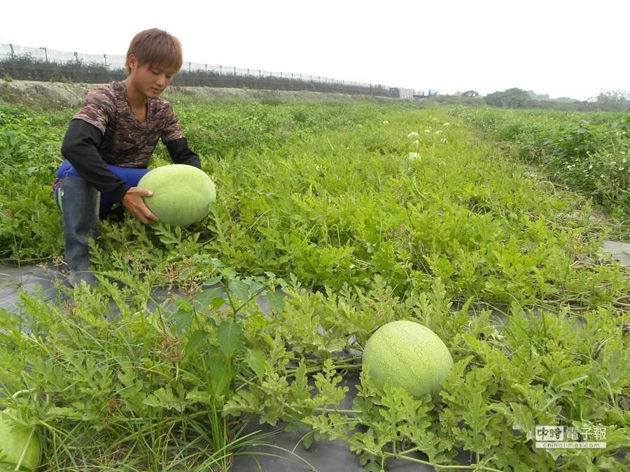 鐘翊禹以草生栽培法種植的無毒西瓜,現在開始進入採收期。(鐘武達攝)