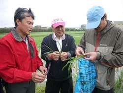 新豐水稻短小根黑 原因待查