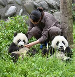 照顧熊貓一年  陸祭20萬年薪急徵人