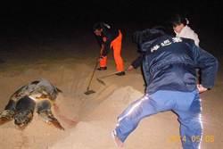 澎湖死亡赤蠵龜 日本野放的