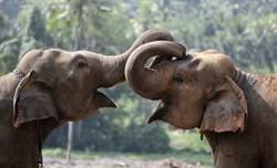 南非研究:大象可檢測癌症