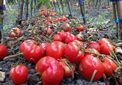 台東番茄欠收 農民臉綠無奈