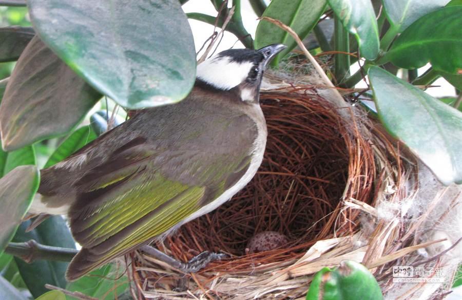高雄市前鎮區戶政事務所大門前的福木,來了一對白頭翁夫妻在樹上築巢下蛋。(圖/前鎮戶所提供)