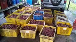 桃源紅肉李產季 警護果防猴