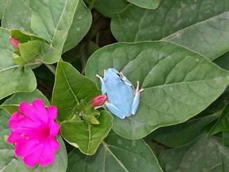 藍樹蛙像馬卡龍 超可愛