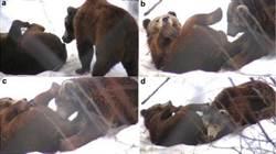 驚!克羅埃西亞同志棕熊也「口愛」