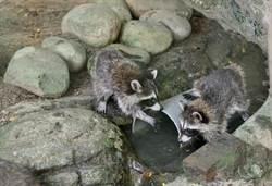 浣熊兄妹將亮相 忙練搓洗水果