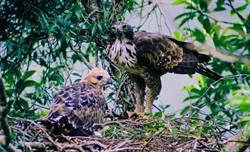 14年追蹤拍攝 台灣最大猛禽影像揭秘