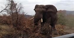 遊客玩自拍   惹毛南非公象