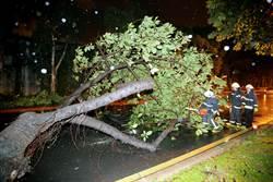 北安路巨大路樹倒 電鋸卡卡