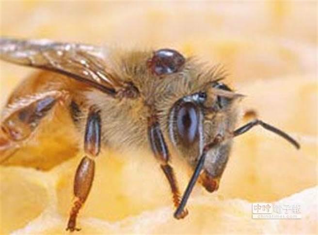 圖為身上帶有蜂蟹蟎的工蜂照片。(摘自美聯社)