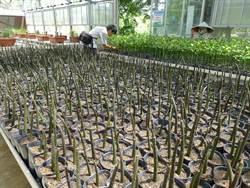 增進紅樹林多樣性 金門培育紅海欖、欖李