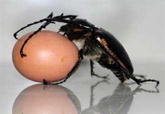 四川青城山發現大陸最大個體甲蟲