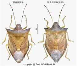 墾丁公園發現新種椿象「短角鈍頭蝽」