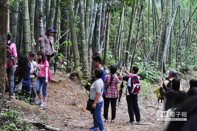 蓮華池巨竹林的新筍粗大壯觀,吸引不少遊客。(沈揮勝攝)