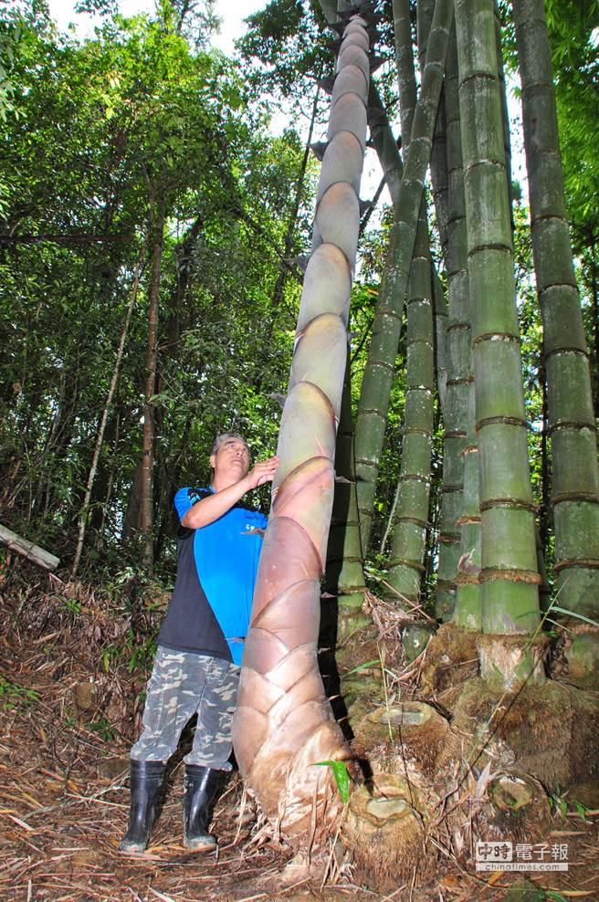 保育人員蕭惠文說,這根巨筍,直徑約28公分、胸圍逾90公分。(沈揮勝攝)