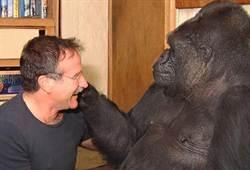 聞好友羅賓惡耗 大猩猩可可哭了