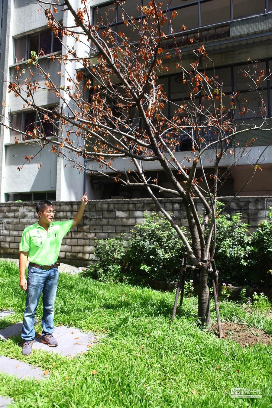 牯嶺公園先前進行美化工程,北市議員童仲彥發現委外廠商沒有園藝專業,許多櫻花樹移植後都已枯萎。(張立勳攝)