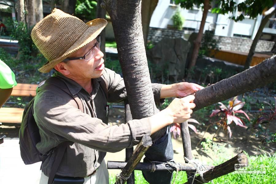 北市園藝隊長顏春城當場鑑定,發現牯嶺公園內的櫻花樹已枯死,但區公所卻仍掛告示牌稱尚有嫩芽冒出,擬持續觀察暫不做處置。(張立勳攝)