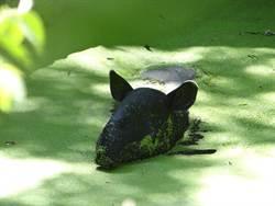 環保家馬來貘  養浮萍當點心