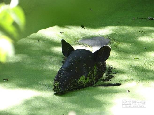 浮萍能淨化水質同時也是馬來貘的點心。(台北市立動物園提供)