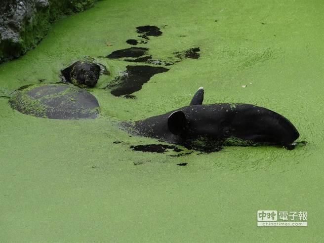 水中馬來貘常被誤認為河馬 。(台北市立動物園提供)
