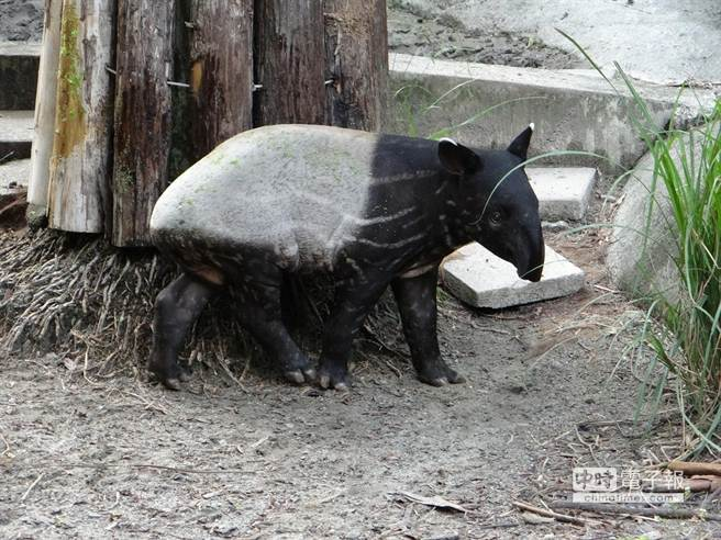 貘樹身上的花紋正迅速消失中。(台北市立動物園提供)