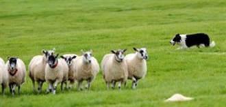 牧羊犬趕羊秘訣 不容縫隙