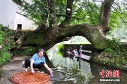 500年古樹 橫臥溪上成樹拱橋