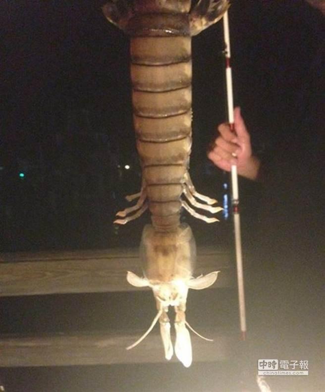「螳螂蝦」算是龍蝦的近親,但跟螳螂和普通蝦類都沒什麼親屬關係。(圖取自央視網)