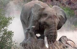 公象精蟲衝腦 踢翻擋路母犀