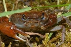 興大教授發表棲蘭山新種淡水蟹