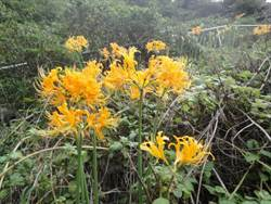 基隆嶼金花石蒜開了 十月下旬進入盛花期