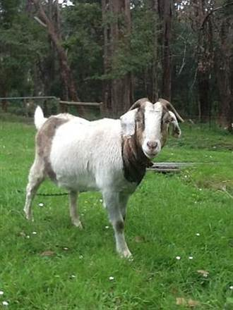 澳洲買房送山羊 買家樂高價承接