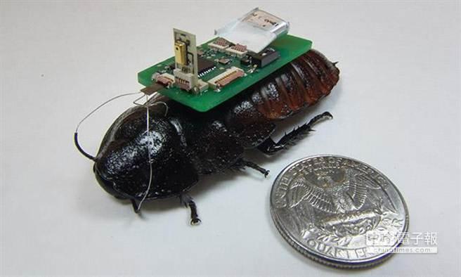 美國北卡羅萊納州立大學研究團隊正打算在蟑螂背部裝上特殊裝置,協助救難人員在地震發生時,快速找到倖存者。(圖取自美國北卡羅萊納州立大學研究團隊)