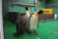 快來看!國王企鵝寶寶嘟胖明亮相