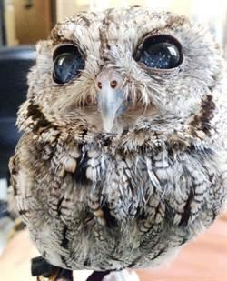 盲眼貓頭鷹 驚擁美麗銀河瞳