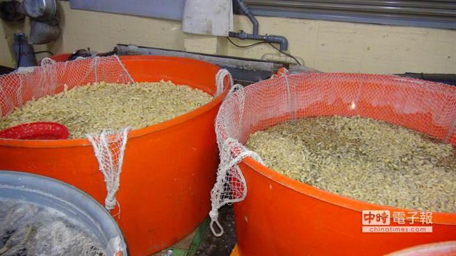 大桶的醃漬薑都添加了工業用「氯化鈣」,以保持脆度。(莊明勳翻攝)