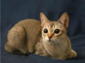 9新品種貓 你可能從未見過