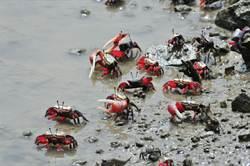 大鵬灣生態豐富 可見12種招潮蟹