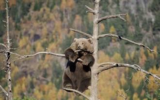 這熊怎麼了?為何獨立枝頭沉思