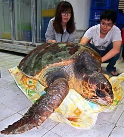 死亡赤蠵龜 屏生館擬製標本
